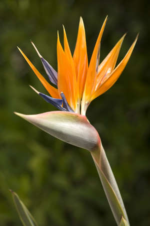 An open Bird of Paradise flower in full bloom.