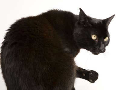 moggi: A black cat isolated on a white background.