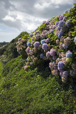 hydrangea macrophylla: Purple hydrangea flowers (Hydrangea macrophylla) Stock Photo
