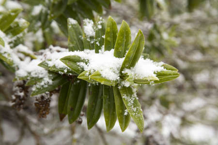 Snow laying on plants and bushes during winter Stock Photo - 6080944