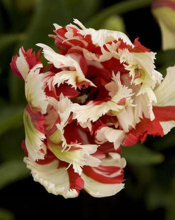 Vibrant coloured Tulip flowers in seasonal bloom. Stock Photo - 6150658