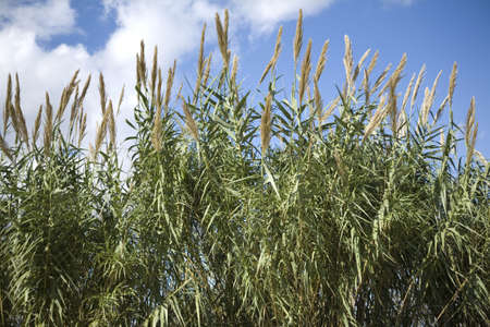 Wild grass against a blue sky with clouds. Stock Photo - 6150681