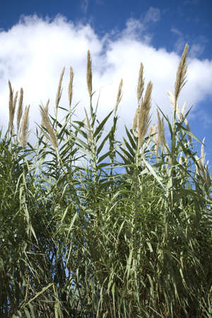 Wild grass against a blue sky with clouds. Stock Photo