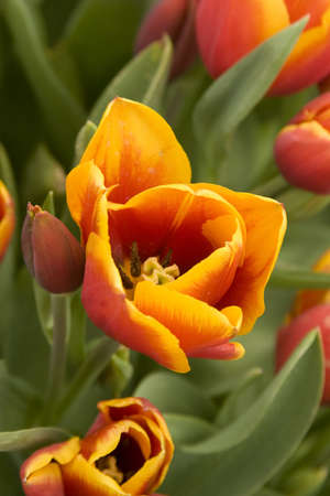 Vibrant coloured Tulip flowers in seasonal bloom. Stock Photo - 6150666