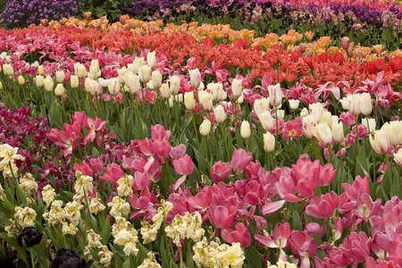 Vibrant coloured Tulip flowers in seasonal bloom.