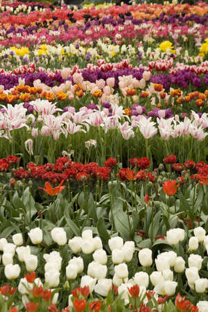 Vibrant coloured Tulip flowers in seasonal bloom. Stock Photo - 6150675