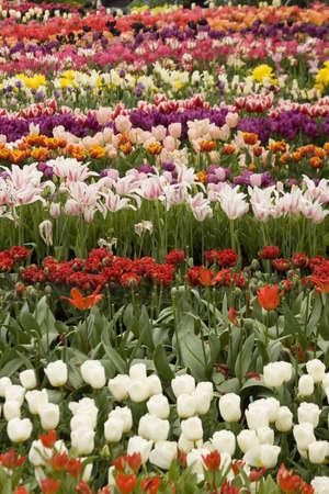 Vibrant coloured Tulip flowers in seasonal bloom. Stock Photo - 6150675