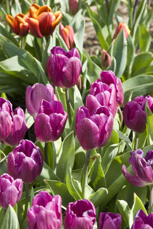 Vibrant coloured Tulip flowers in seasonal bloom. Stock Photo - 6150670