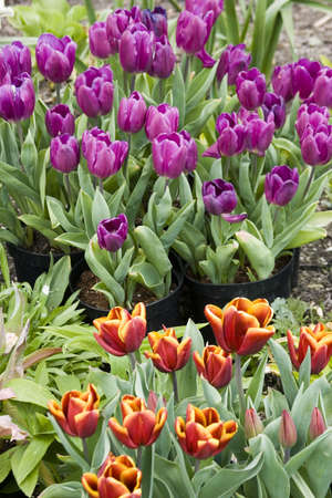 Vibrant coloured Tulip flowers in seasonal bloom. Stock Photo - 6150672