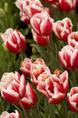 Vibrant coloured Tulip flowers in seasonal bloom. Stock Photo - 6150671