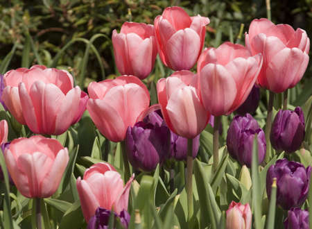 Vibrant coloured Tulip flowers in seasonal bloom. Stock Photo - 6150655