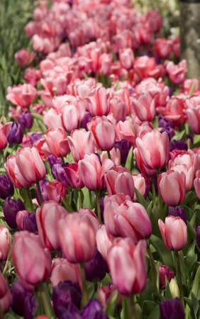Vibrant coloured Tulip flowers in seasonal bloom. Stock Photo - 6150661