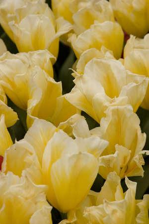 Vibrant coloured Tulip flowers in seasonal bloom. Stock Photo - 6150657
