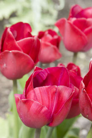 Vibrant coloured Tulip flowers in seasonal bloom. Stock Photo - 6150662