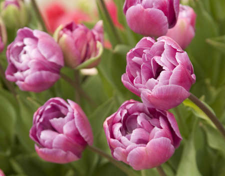 Vibrant coloured Tulip flowers in seasonal bloom. Stock Photo - 6150659