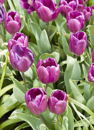 Vibrant coloured Tulip flowers in seasonal bloom. Stock Photo - 6150668