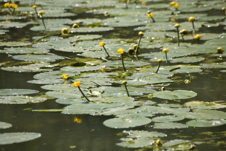Water Lilies floating on the water.
