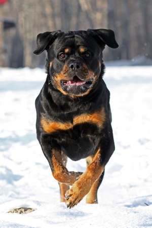 The Rottweiler runs on snow in the winter Stock Photo