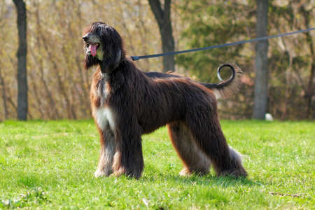 furred: the Afghan hound dog is on the leash in full length