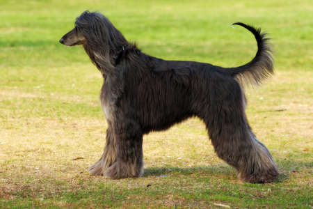 furred: beautiful Afghan hound dog in summer is standing sideways with his tail in full growth