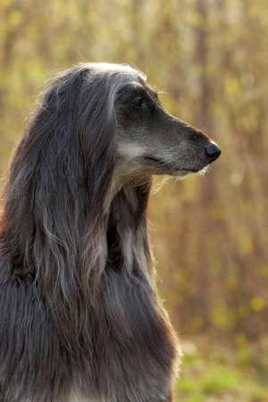 hound: beautiful Afghan hound dog summer portrait in profile