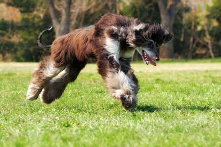 cur: dog Afghan hound jumping over the earth froze