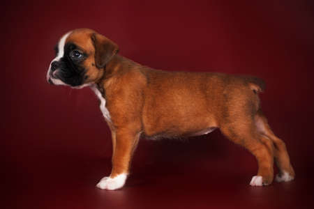 doggy position: Purebred red boxer puppy standing in the show position on the deep red background in the Studio Stock Photo