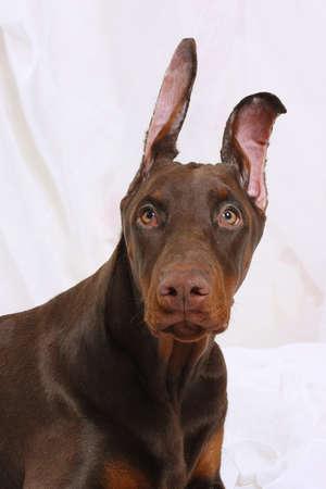 Brown puppy Doberman frightened looks