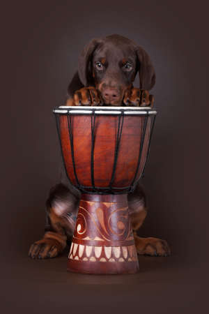 brown dobermann: Brown Doberman puppy put his paws up on the drum and looks sad Stock Photo
