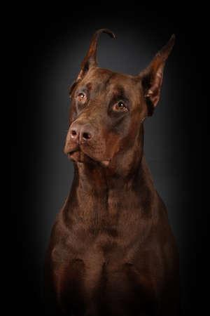 brown dobermann: brown dog Doberman on a black background - portrait sad