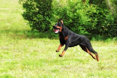 rapidity: black Doberman Pinscher dog running fast in the summer on the green grass