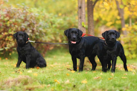 leashes: Three black Labrador puppy Retriever tied to a tree on leashes