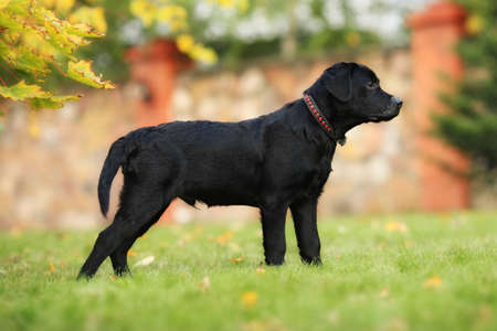 doggy position: purebred black Labrador puppy is in the show position on a green lawn ????????? ?GoogleBing Stock Photo