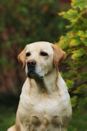 respite: yellow dog breed Labrador Retriever - year-old portrait on background of foliage