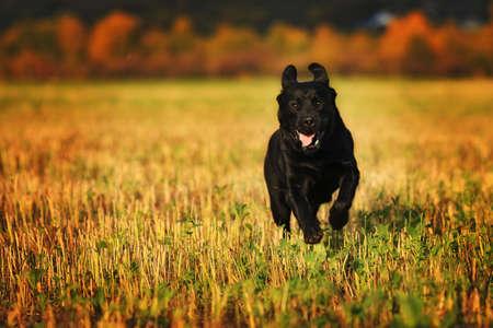 Black dog breed Labrador running fast through a field in summer Standard-Bild