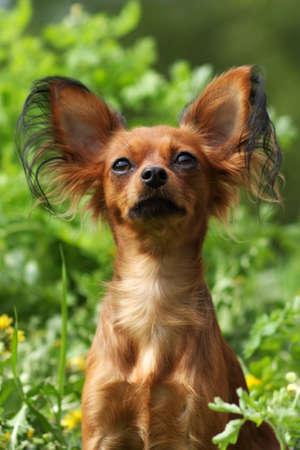 prideful: decorative dog Russian Toy Terrier in summer closeup portrait Stock Photo