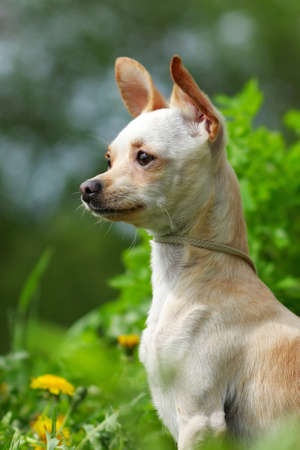 prideful: portrait of a Chihuahua on the background of summer greenery Stock Photo