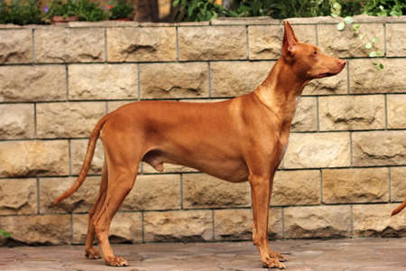 dog breed Pharaoh hound standing in show position on wall background