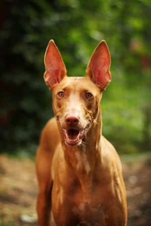 commands: Pharaoh hound stares and waits for commands