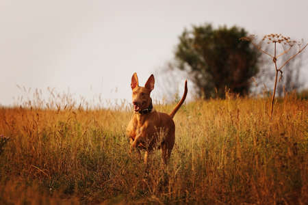 sniff dog: dog breed Pharaoh hound running in field at sunset on a country road Stock Photo