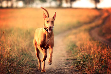 dog breed Pharaoh hound running in field at sunset on a country road Standard-Bild