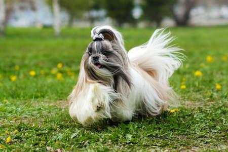 Shih Tzu decorative dog runs in the summer on the grass, hair flying in the wind Standard-Bild