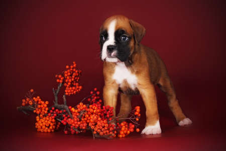 burgundy background: cute red puppy boxer stands next to a sprig of mountain ash on Burgundy background, autumn theme