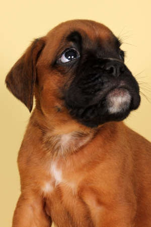 perro asustado: boxeador cachorro de color rojo con temor mirando hacia arriba, primer plano