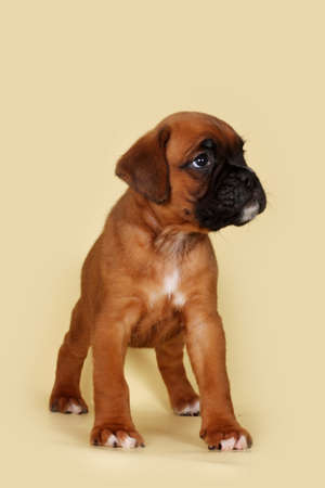 doggy position: Purebred red boxer puppy stands in the exhibition position on a yellow background