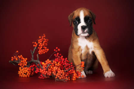 burgundy background: Cute red puppy boxer sitting next to a sprig of mountain ash on Burgundy background, autumn theme