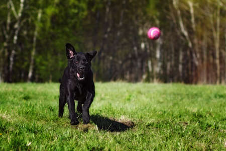 rapidity: Black dog breed Labrador playing with a ball Park on a Sunny day, quickly runs