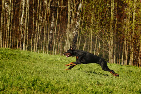 offender: Black Doberman runs gallop on the hill, in pursuit of offender Stock Photo