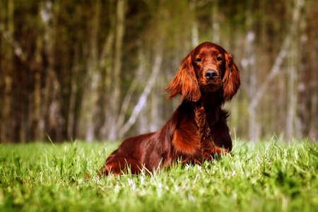 glistening: beautiful dog Irish setter lies in the summer, glistening in the sun Stock Photo