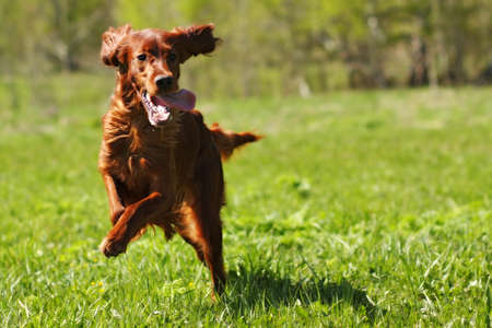 hunter playful: lucky dog Irish setter playing in the summer on the grass, running fast